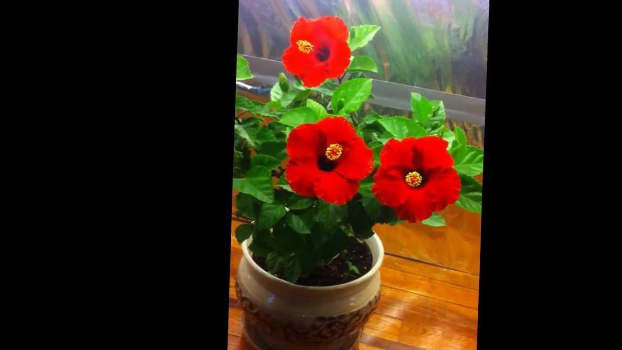 Hibiscus Growing Indoors Youtube