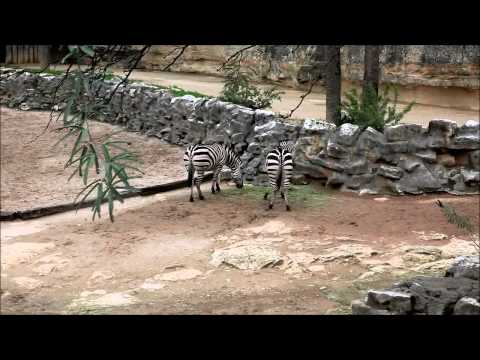 Zebra gets kicked in the head at the San Antonio Zoo thumbnail
