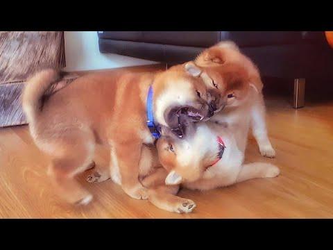 Battl of les potats - MLIP / Ep 147 / Shiba Inu puppies
