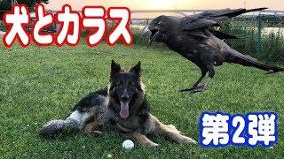 前回のカラスとの動画 シェパード犬と黒カラスのまったり散歩風景 https...