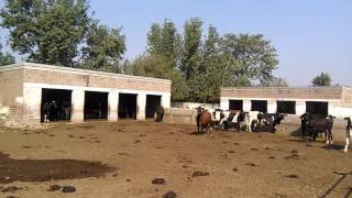 Milking cow's setup for milk 03459442750 Zain Ali Farming in Pakistan