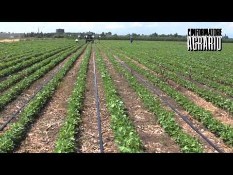 Irrigazione a goccia con manichetta su 15 ha di pomodo for Irrigazione a goccia per pomodori
