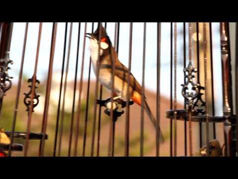 นกกรงหัวจุก_กาญจนบุรี2