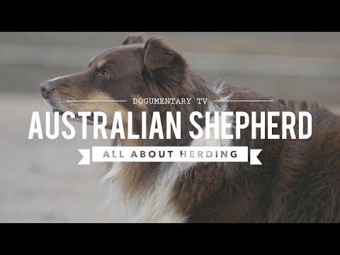 AUSTRALIAN SHEPHERDS ALL ABOUT HERDING