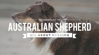 AUSTRALIAN SHEPHERDS ALL ABOUT HERDING