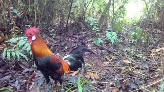 Video Pikat ayam hutan terbaru download MP3, 3GP, MP4, WEBM, AVI, FLV Desember 2017