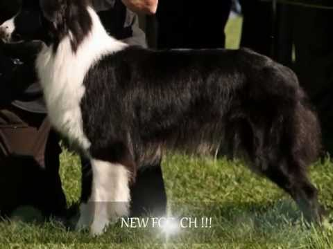 Aly, Australian Shepherd, 2 Years - Flyball, Agility, Disc Dog, Tricks and more....
