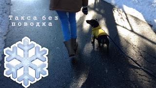 ТАКСА БЕЗ ПОВОДКА. Гуляю с собакой.