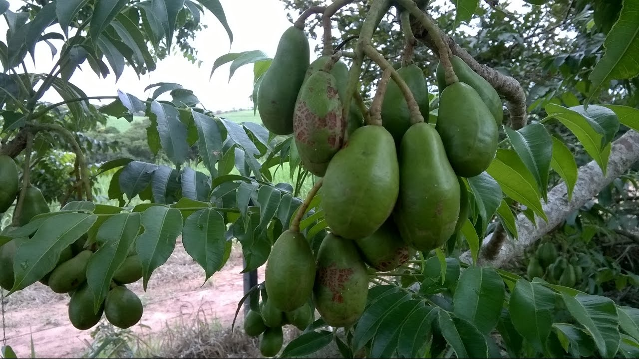 """A Fruta Carambola Serve Para Que """"cajÁ manga"""" fruta rica em vitaminas veja seus benefÍcios"""