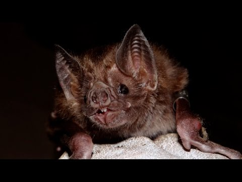 Vampire Bats: The Carrier Of Rabies In Latin America - HD Documentary