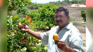 Limoeiro recebe incentivos para pequeno produtor rural com mudas de cajueiros anão precoce