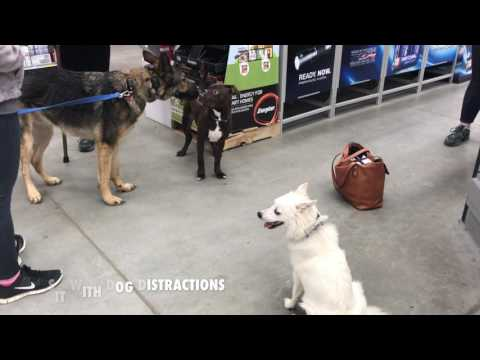 Long Island Dog Trainer: Luna, 8-Month Old American Eskimo with Amazing Obedience!