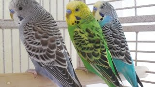 6 Hours Budgies Parakeets Birds Singing, Chirping, Reduce stress blood pressure heart diseases