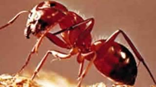 Las ondas de los móviles desorientan a las hormigas