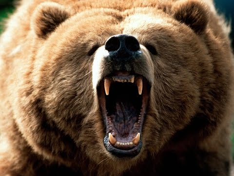 Funny animals-  Grizzly Bears and Wolves of Yellowstone