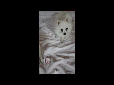 German Spitz: Naughty Dogs