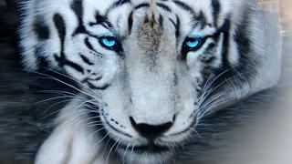 урок аэрографии(Обучающее видео по аэрографии. в этом уроке мы поэтапно рисуем тигра., 2016-05-19T21:32:41.000Z)