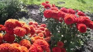 Хризантема в моём саду-сорта и характеристики.