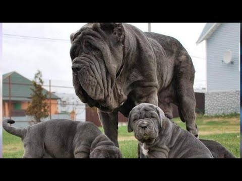 HUGE Pet Dogs You Can Actually Own