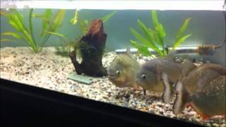 Piranha Breeding - Rain Simulation