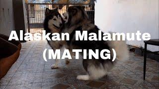 Alaskan Malamute Mating (Pacak Molly Alaskan Malamute)