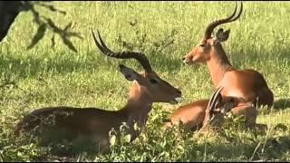 Impala / samiec / - dzika przyroda Afryki ,, Safari