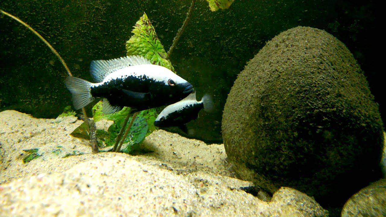 Herichthys bartoni narybek 9 dni od wylęgu