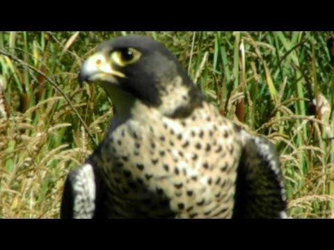 Peregrine Falcon Flying Demo   Pacific Northwest Raptors