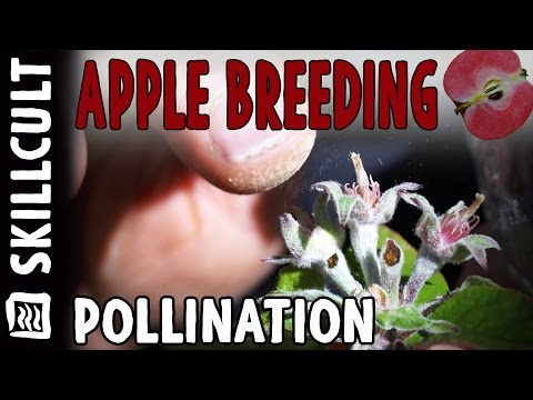 Flower to Fruit Amateur Apple Breeding Project: Pollination