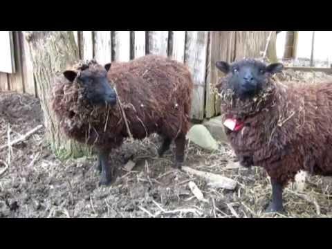 Sheep Shearing at Arthur Morgan School