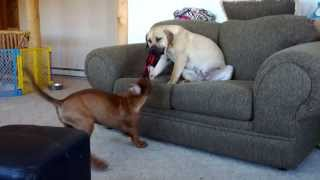 """This is a short video of Tosa Inu (土佐犬) puppy """"Musashi"""" and Sout..."""