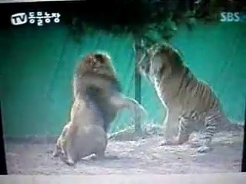 Lion defeats 40 male tigers, proof the tigers are male, with expert accounts
