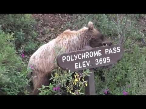 Grizzly Bear encounter in Denali National Park, Alaska  - July 2016