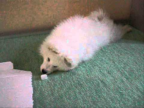 #01 『初めまして!サモエドのクローカです☆』 | サモエド クローカのモフモフ日記 | 犬といっしょ | アイリスペットどっとコム