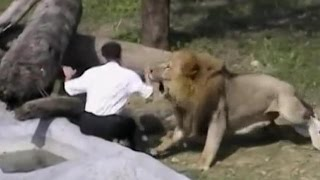 crazy man jumps into lion s den lions attack him