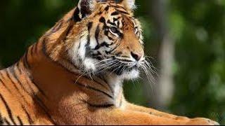 Амурские Тигры занесены в красную книгу.