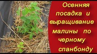 Как правильно посадить малину. Осенняя посадка и выращивание малины по черному спанбонду.(Секрет хорошего урожая прост - хорошие саженцы отличных сортов посадить с пользой для себя и для растений...., 2015-11-17T13:28:24.000Z)