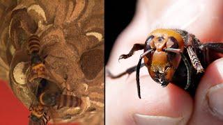1st Asian Giant 'Murder Hornet' Captured in Washington State
