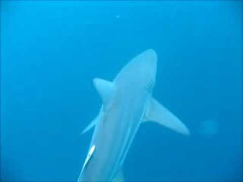 Freediving with oceanic blacktip sharks in South Africa
