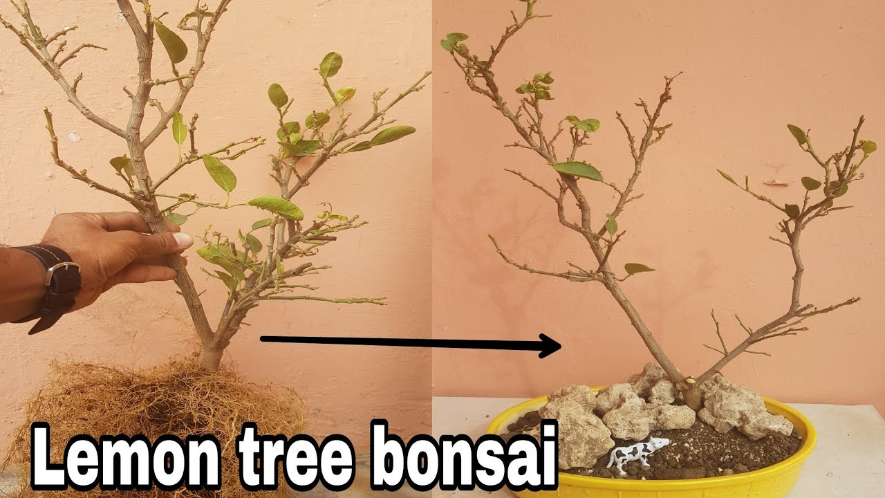 Lemon Tree Bonsai How To Make Bonsai Lemon Bonsai Youtube