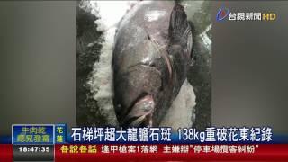 石梯坪超大龍膽石斑138kg重破花東紀錄