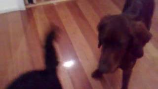 These two pups are 3 months apart and have become best friends. Har...