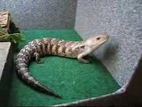 Adorable blue tongue skink - YouTube | 480 x 360 jpeg 15kB