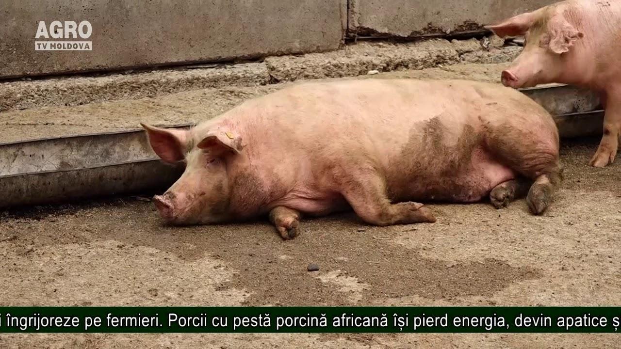 Viermi în tratamentul simptomelor porcine - primariacetateni.ro