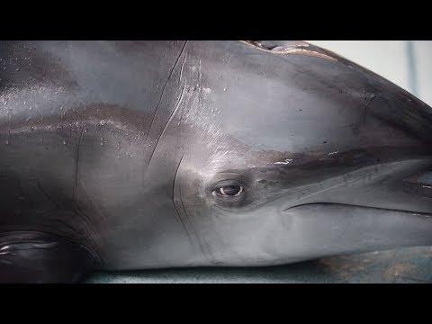 'Lumba-lumba': Indonesia's circus dolphins