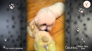 Любимая игрушка - медвежонок Умка. Бишон фризе. Bihon Frise Umka.