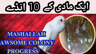 MASHALLAH GOOD BREEDING PROGRESS OF BUDGIES COLONY THIS TIME l URDU/HINDI