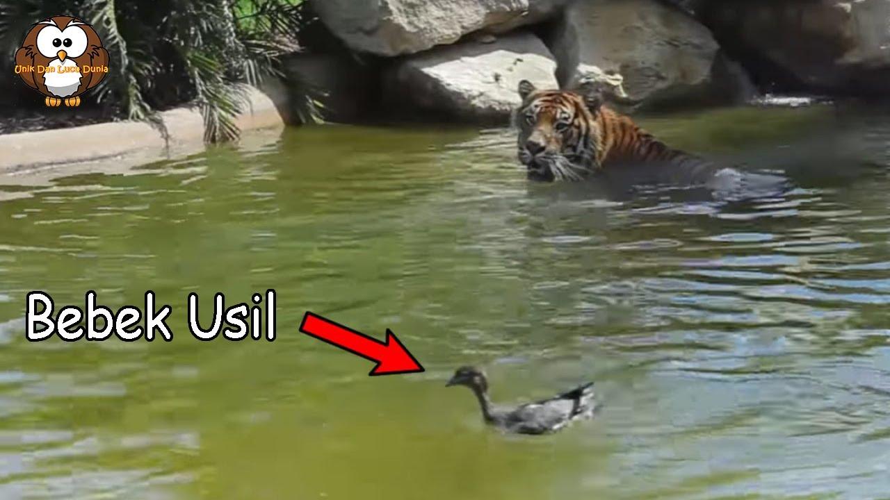 Seekor Bebek dengan Berani Mengerjai Seekor Harimau.!!