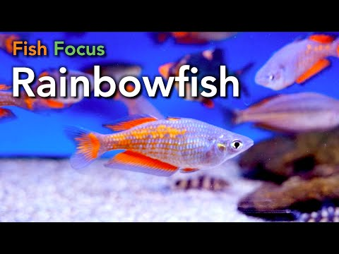 Fish Focus - Rainbowfish