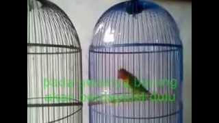 cara mengatasi Love bird ngeruji atau ngerayap versi trimedia love bird